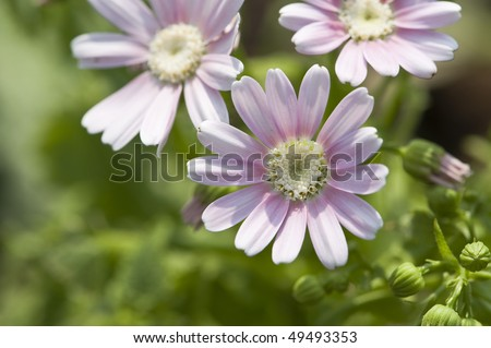 stock-photo-flowers-pink-and-white-cineraria-49493353.jpg