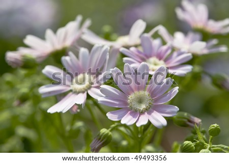 stock-photo-flowers-pink-and-white-cineraria-49493356.jpg
