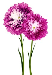flowers  pink chrysanthemums on a white isolated background with clipping path. Flowers on a stalk with green leaves. Close-up. Nature.
