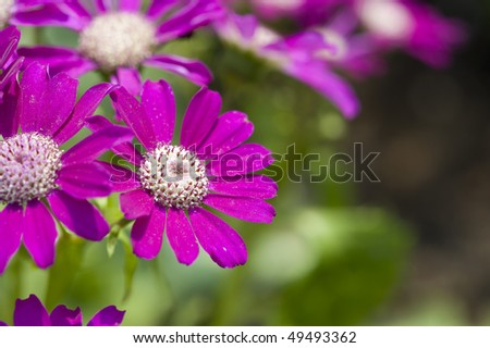 stock-photo-flowers-pink-cineraria-49493362.jpg