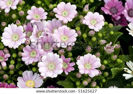 stock-photo-flowers-pink-cineraria-51625627.jpg