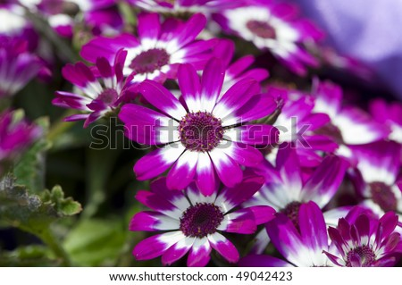 stock-photo-flowers-purple-and-white-cineraria-49042423.jpg