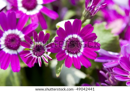stock-photo-flowers-purple-and-white-cineraria-49042441.jpg
