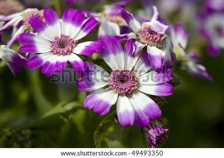 stock-photo-flowers-purple-and-white-cineraria-49493350.jpg