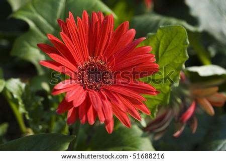 stock-photo-flowers-red-cineraria-51688216.jpg