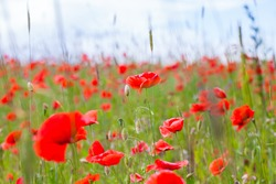 Flowers red poppies blossom on green wild field on the May with selective focus and soft focus blur effects.
