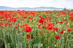 Flowers Red poppies blossom on wild field. Beautiful field red poppies with selective focus. Red poppies in soft light. Opium poppy. Natural drugs. Glade of red poppies, Hungary