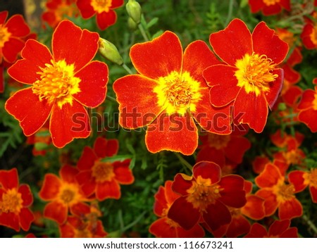 flowers red-yellow