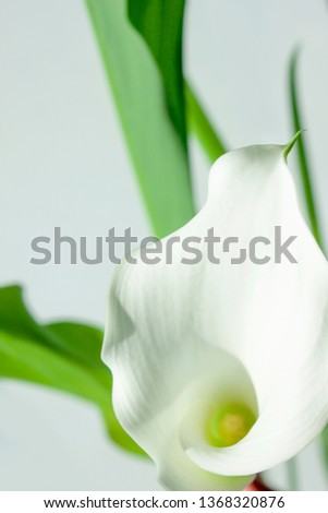 Flowers. Room flower. Botany. Calla lilly. Botany background #1368320876