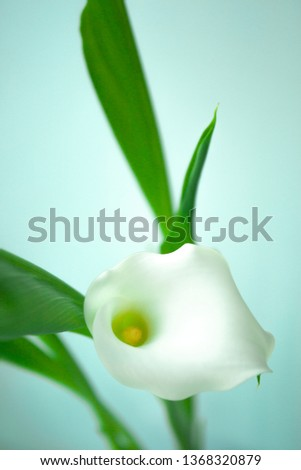 Flowers. Room flower. Botany. Calla lilly. Botany background #1368320879