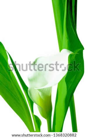 Flowers. Room flower. Botany. Calla lilly. Botany background #1368320882