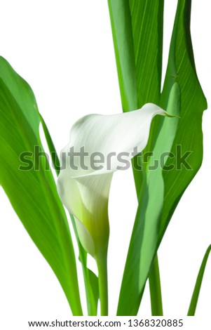 Flowers. Room flower. Botany. Calla lilly. Botany background #1368320885