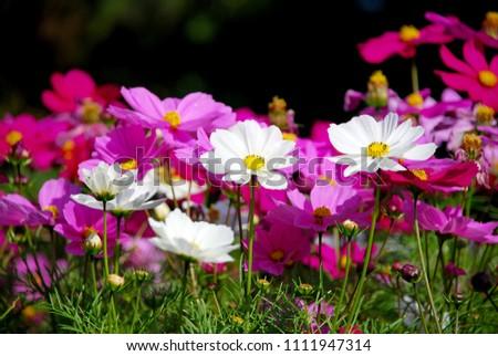 Flowers scenic blooming of Violet Sulfur Cosmos and White Sulfur Cosmos on sulfur cosmos field