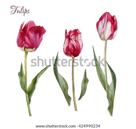 Flowers set of hand drawn watercolor tulips. Illustration