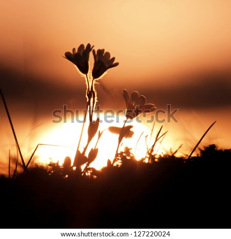 flowers silhouette at sunset