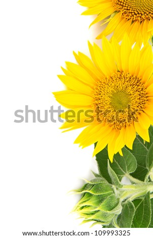 flowers sunflowers on a white background
