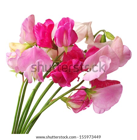 Flowers sweet pea isolated on white background