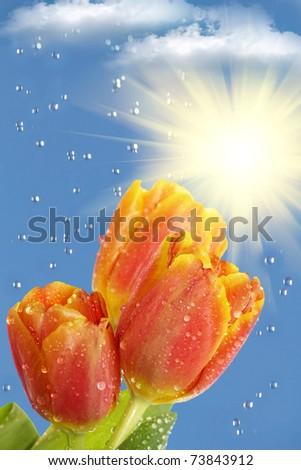 Flowers  tulips  sun  rain   clouds