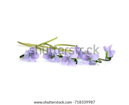Flowers Viola sororia (common names: common meadow violet, lesbian flower, woolly blue violet, hooded violet, wood violet) isolated on white background