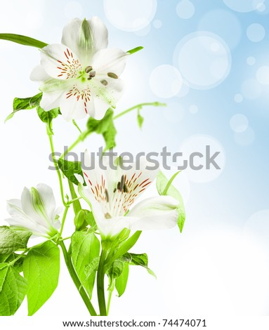 flowers white lily with green leafes on blue background