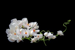 Flowers White Mexican Creeper (Antigonon leptopus) Isolated on Balck background.