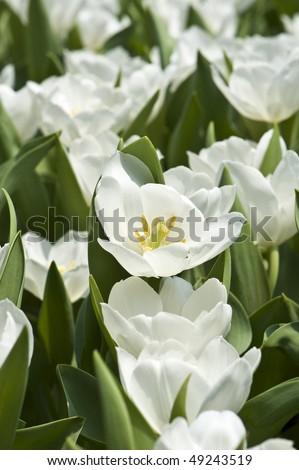 stock-photo-flowers-white-tulips-49243519.jpg