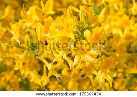 Flowers yellow Rhododendron