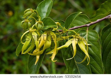 Flowers Ylang-Ylang, for the manufacture of essential oil for perfumes, from Madagascar