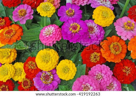 Flowers zinnia  elegans.  Color nature background.
