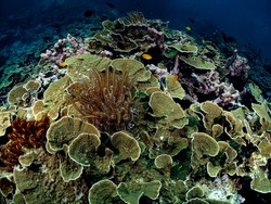 Flowery Blade Hard Corals in their natural diverse habitats around coral reef. Underwater scuba diving under deep blue sea.