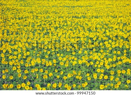flowery meadow with lots of yellow sunflowers