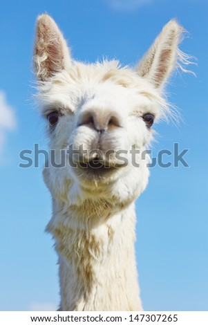 Fluffy alpaca with head held high.