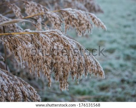 Fluffy and frosty reed on a winter morning as the sun starts to rise
