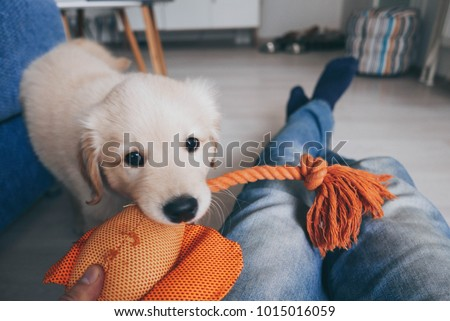 Fluffy and playful golden retriever puppy playing with his owner and his stuffed toy #1015016059