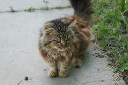 fluffy, beautiful kitty sat down on the sidewalk