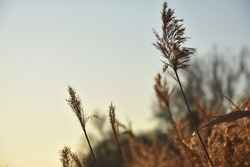 Fluffy beige ears of dry grass with long thin stem and leaves against light blue cloudless sky at sunset