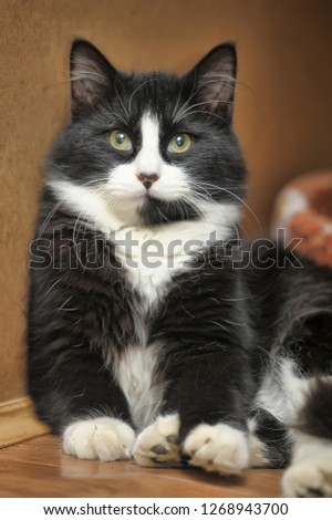 Fluffy black and white eyed cat #1268943700