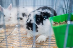 Fluffy black and white rabbit resting in the cage at agricultural animal exhibition, pet trade show, market - close up view. Farming, agriculture industry, livestock and animal husbandry concept