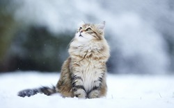 Fluffy bright kitten sitting in the snow looking up in the winter