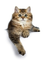 Fluffy British Longhair cat kitten laying down with paw hanging over edge, looking at camera isolated on white background