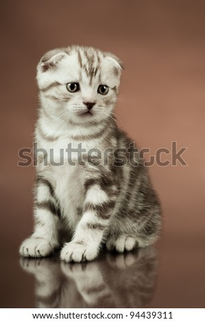 fluffy brown  beautiful  kitten, breed scottish-fold,  close portrait  on brown  background  , lamentably look