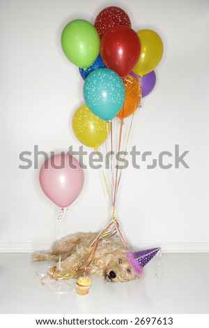 Fluffy brown dog passed out wearing party hat with cupcake and balloons.