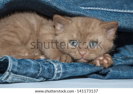Fluffy brown small kitten with sad eyes scared and hiding in jeans