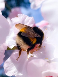 Fluffy bumblebee on pink flower. Huge bumble bee  on almond bloom, close up.