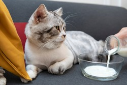 Fluffy cat laying on a couch. Human pouring milk into glass bowl. Cat drinking milk.