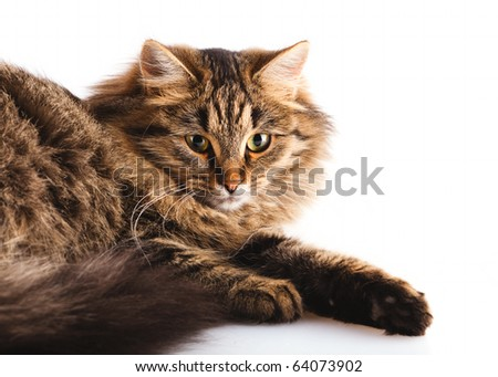 fluffy cat on over white background with shadow