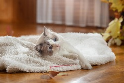 fluffy cat plays. Bicolor Rag Doll at home