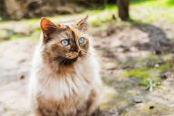fluffy cat with bright blue eyes looking up away by sunny day