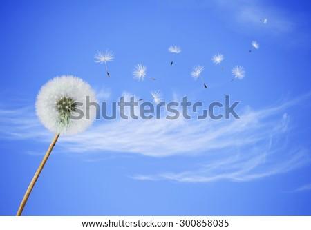 fluffy dandelion flower with...
