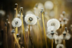 Fluffy dandelion flowers with light fuzz grow in the field on thin long stems, illuminated by sunlight. Summer.